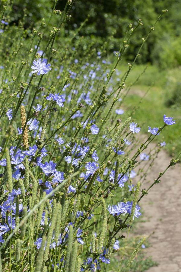 Wild chicory grows in nature. Cichorium ordinary, edible bitter herb, coffee substitute, bitter drink ingredient. Vertical green stock photography