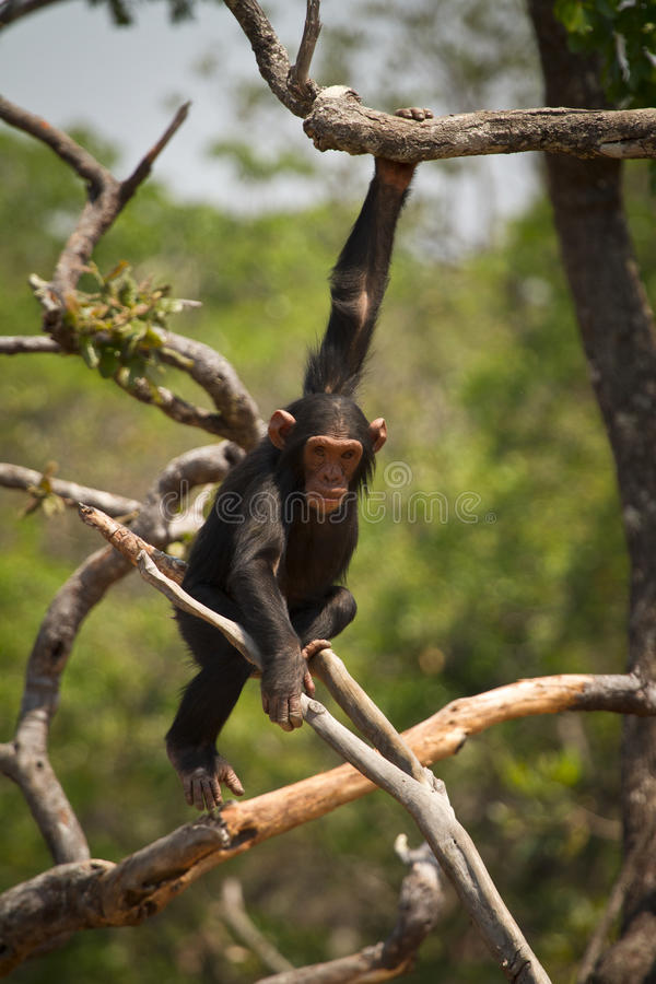 Wild chimp. Young Wild chimp playing, Zambia royalty free stock images