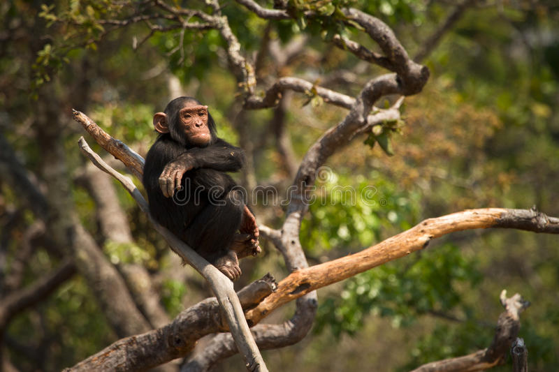Wild chimpanzee. On tree, Zambia stock image