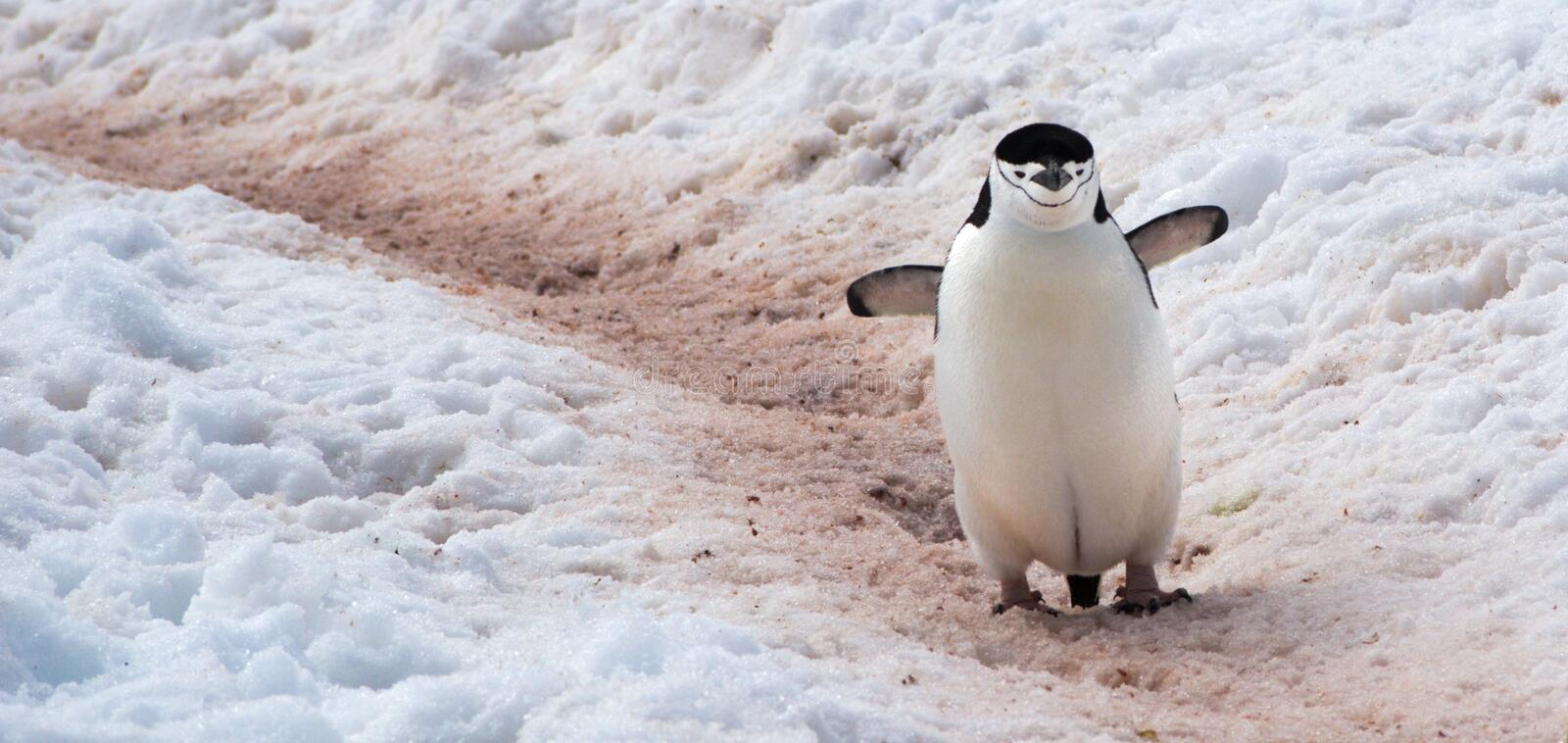Wild Chinstrap Penguins in Antarctica. Chinstrap Penguins walking around on Halfmoon Island in Antarctica cooling their blood through their wings royalty free stock photo