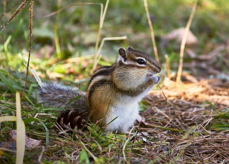Wild Chipmunk au sol 3 photos libres de droits