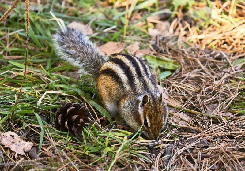 Wild Chipmunk au sol 4 images libres de droits