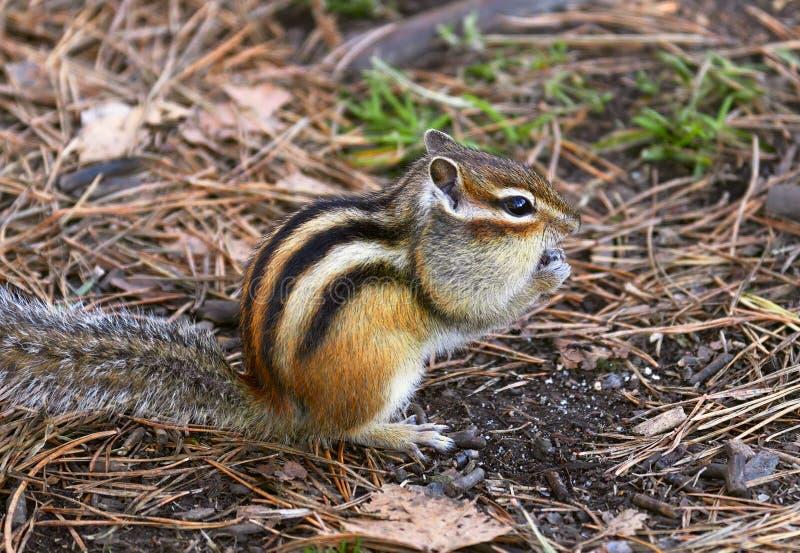 Wild Chipmunk au sol 6 images libres de droits