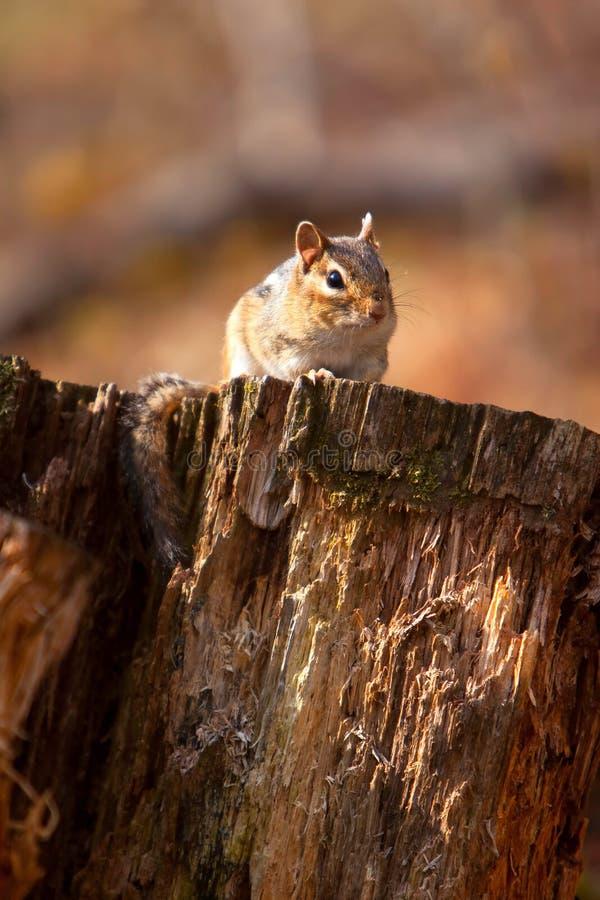Wild Chipmunk On Log royalty free stock image
