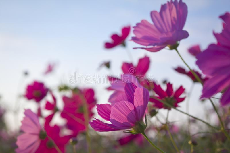 Wild close up pink cosmos flowers. Close up of pink cosmos flowers wild in the wind and with blue sky royalty free stock photography