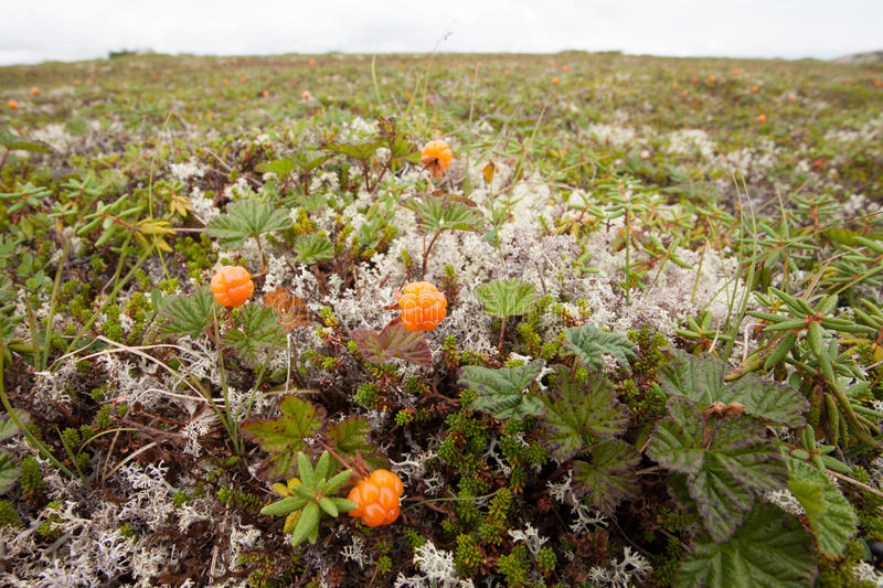 Wild cloudberries Rubus chamaemorus ripe in tundra. Wild cloudberries, Rubus chamaemorus, ripe and ready to be harvested growing on alpine tundra in Labrador, NL stock images
