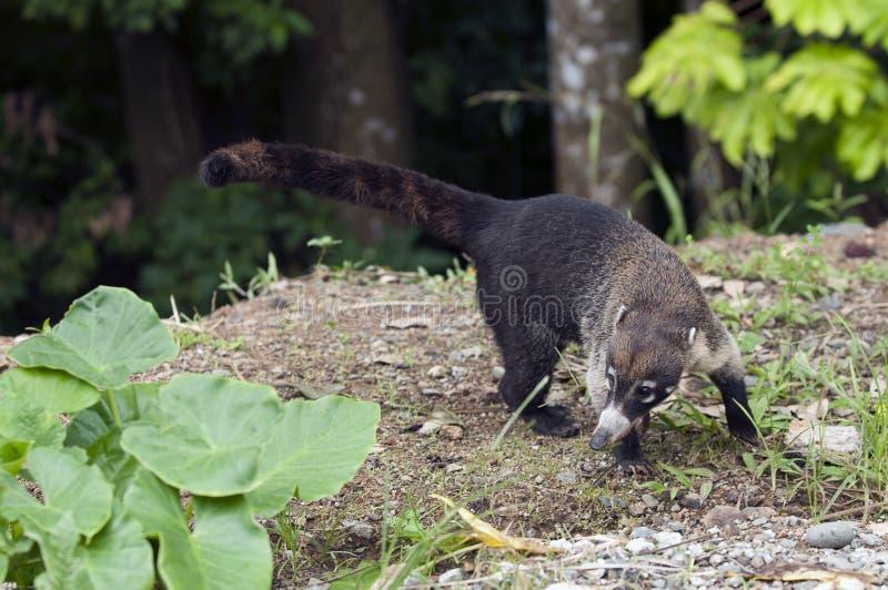 Wild coati. A wild coati in Costa Rica stock photo
