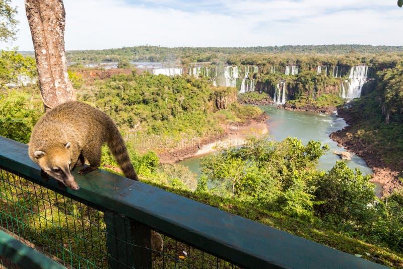 Wild coati nasua posing on Brazilian side of Iguazu falls national park. Argentinian side of Iguazu falls in the background. royalty free stock photos