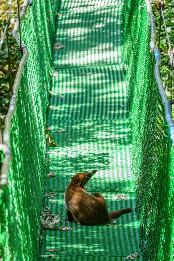 Wild coati over suspension bridge stock images