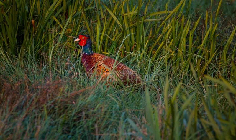 Male common pheasant. Wild common pheasant in a Danish natural environment of tall grass stock images