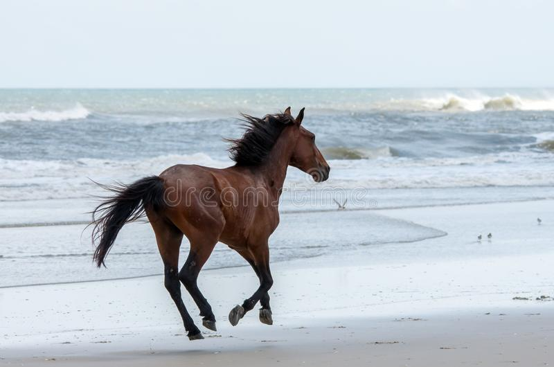 Wild Colonial Spanish Mustangs on the northern Currituck Outer B. Wild Colonial Spanish Mustangs on the dunes and beach in northern Currituck Outer Banks stock images