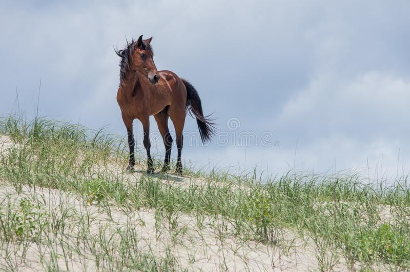 Wild Colonial Spanish Mustangs on the northern Currituck Outer B. Wild Colonial Spanish Mustangs on the dunes and beach in northern Currituck Outer Banks royalty free stock photos