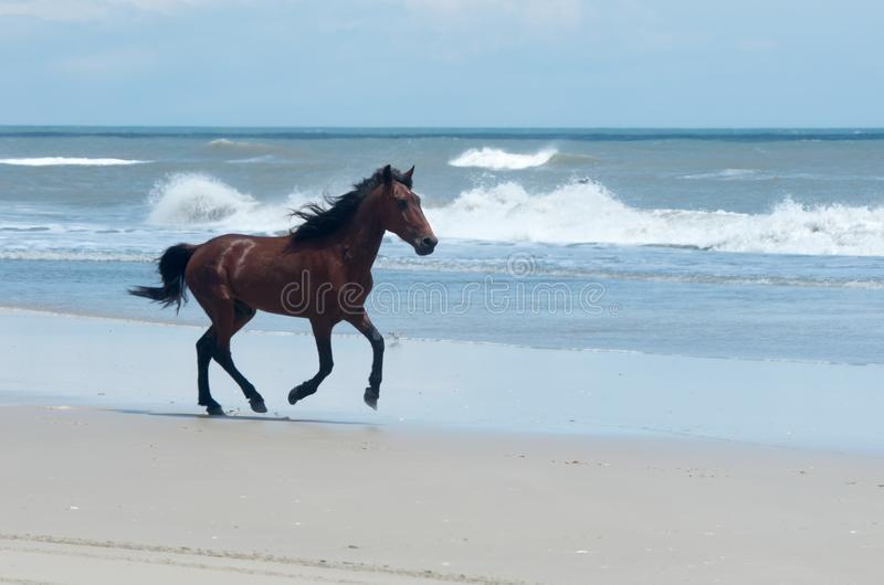 Wild Colonial Spanish Mustangs on the northern Currituck Outer B. Wild Colonial Spanish Mustangs on the dunes and beach in northern Currituck Outer Banks royalty free stock photo