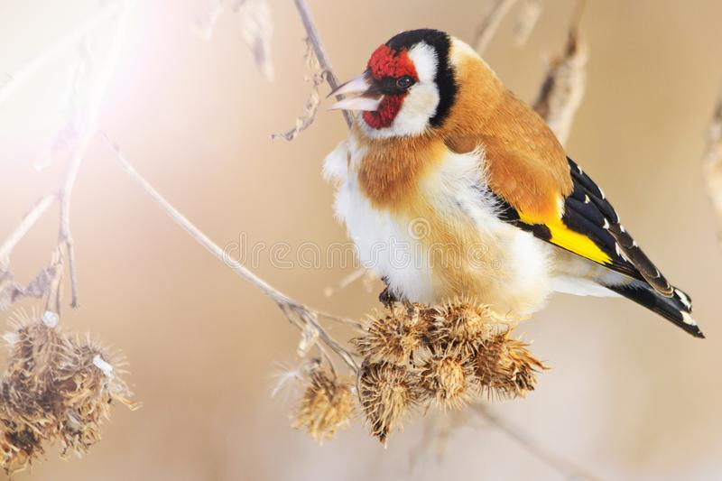 Wild colored bird in the winter`s morning sits on a dry stem. Wildlife, winter survival, cold and frost stock photos