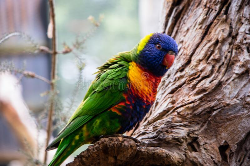 Colored, blue and yellow Macaws of AUstralia. Wild colorful parrot loose on a tree in the city of Melboune, Australia royalty free stock photography
