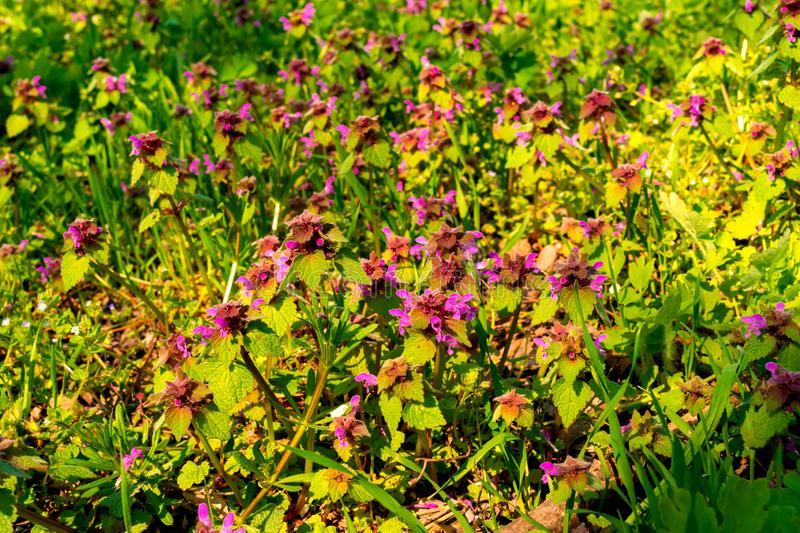 Wild colorful red dead-nettle flowers - selective focus.  stock image