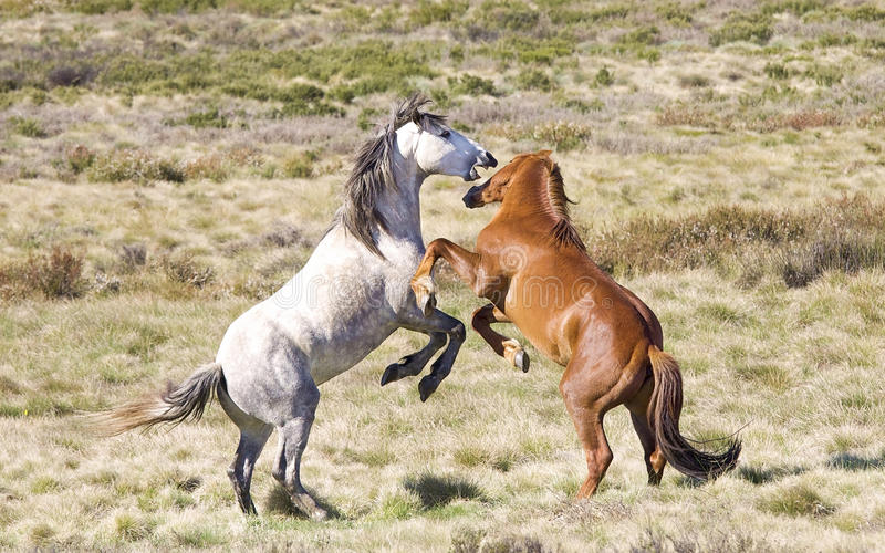 Wild Colts (Brumbies) Fighting stock image