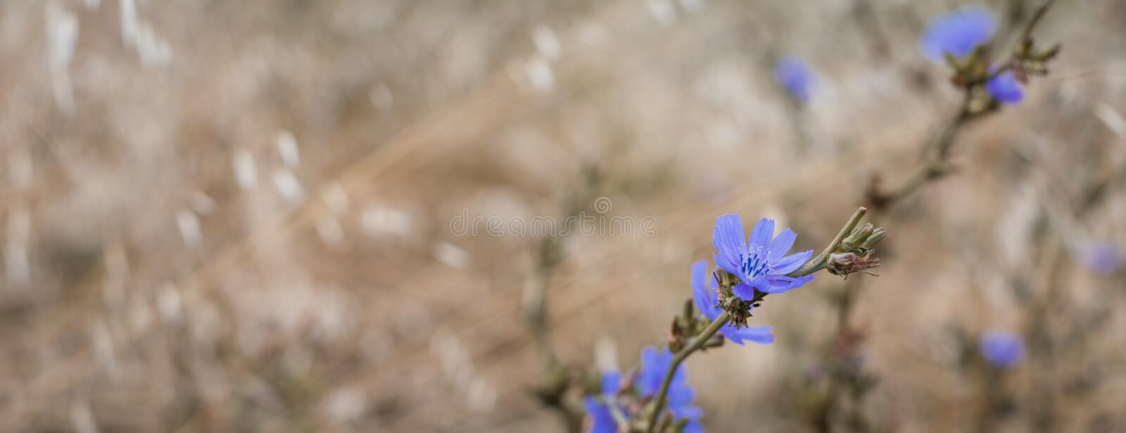 Wild cornflowers on the oats field, banner, selective focus. Toned royalty free stock photography