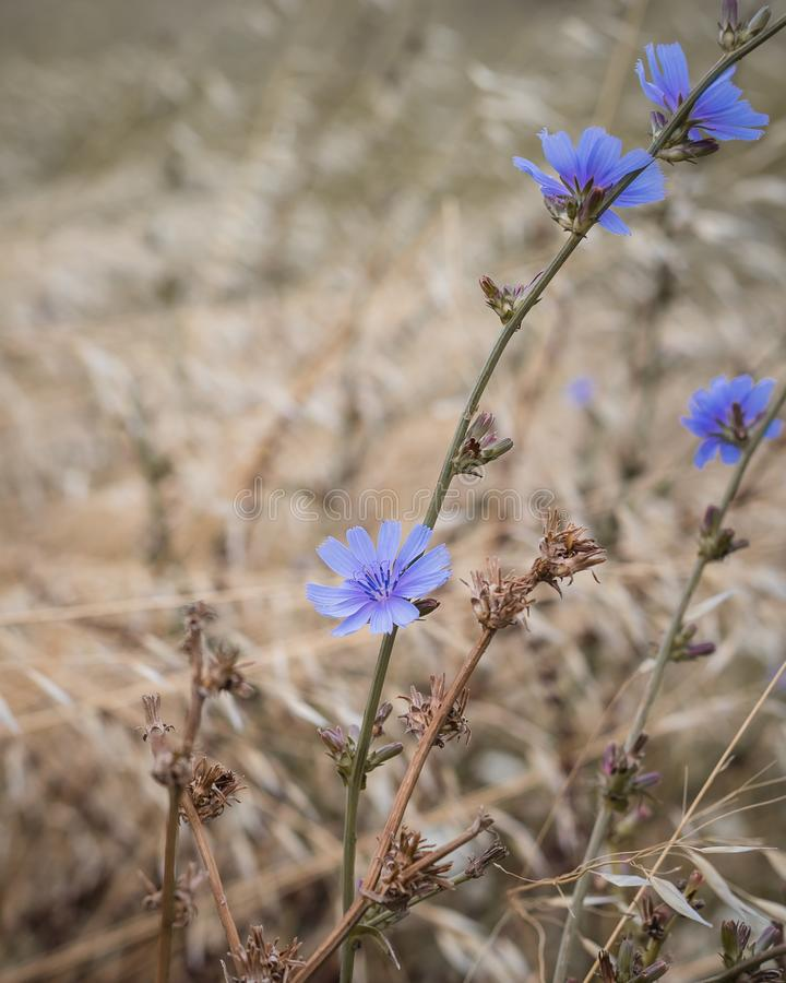 Wild cornflowers on the oats field, selective focus. Toned stock image