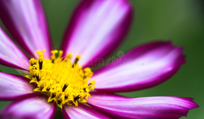 Wild Cosmos Flower Cosmos bipinnatus purple pink wild flower blooming during Spring and Summer closeup macro photo isolated royalty free stock photography