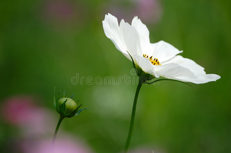 Wild cosmos flowers stock images