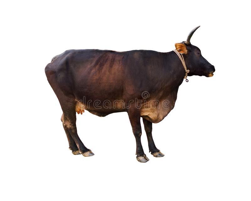 Wild cow of dark brown Australian Friesian sahiwal or Kasargod dwarf breed, on white background. royalty free stock image