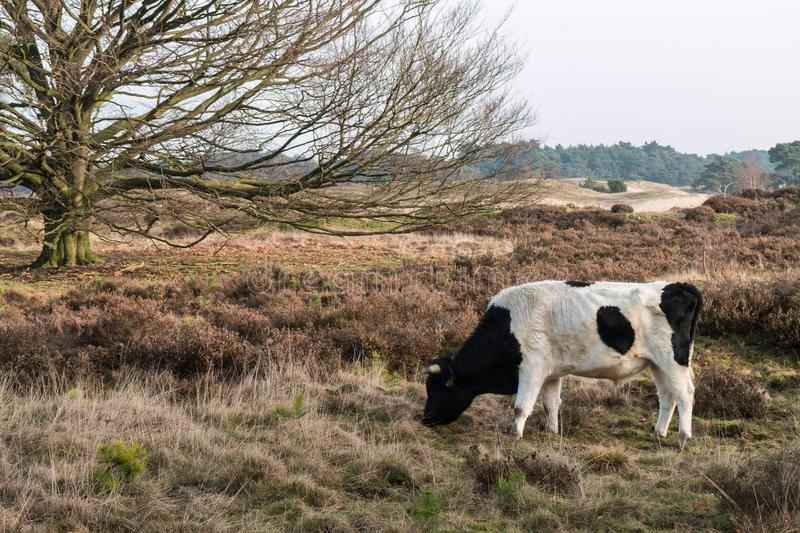A wild cow in a landscape royalty free stock images