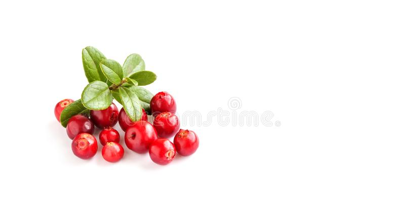 Wild cowberry isolated on white background. Ripe red forest berries Vaccinium vitis-idaea with green leaves. Copy space.  stock image