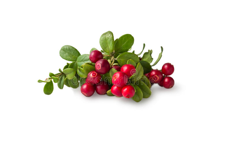 Wild Cowberry with leaves. Wild Cowberry foxberry, lingonberry with leaves isolated on white royalty free stock photography