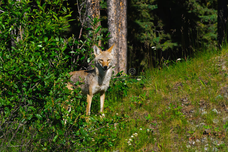Download Wild Coyote stock photo. Image of mountain, hunting, wildlife - 21953530