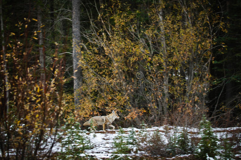 Download Wild Coyote stock image. Image of hunting, national, autumn - 28053171