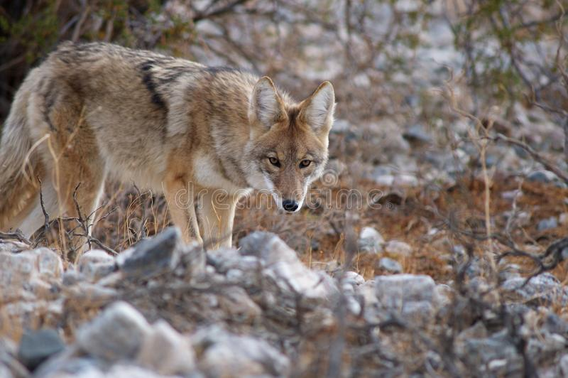 Download Wild Coyote Stock Photography - Image: 28234102