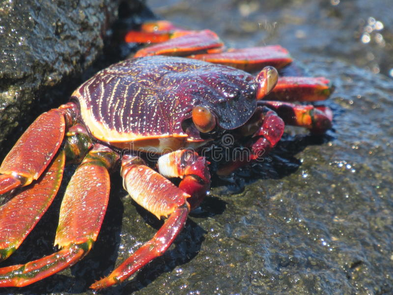 Wild Crab royalty free stock image