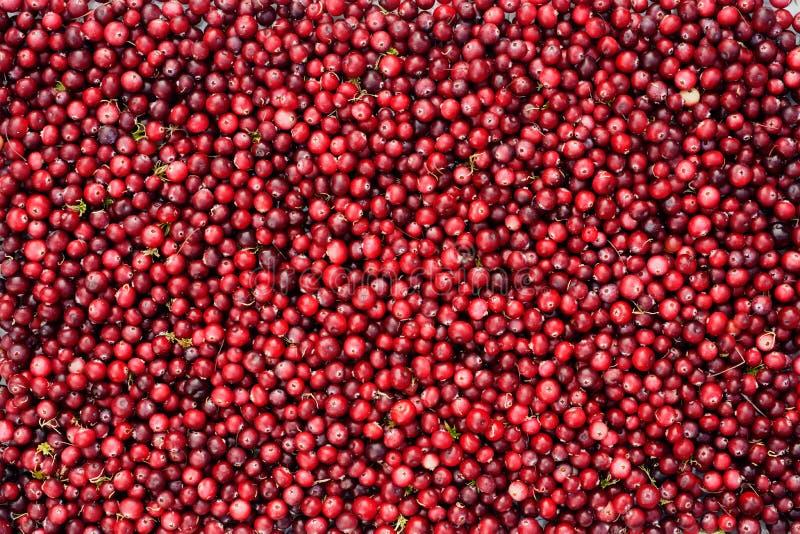 wild cranberries royaltyfri foto