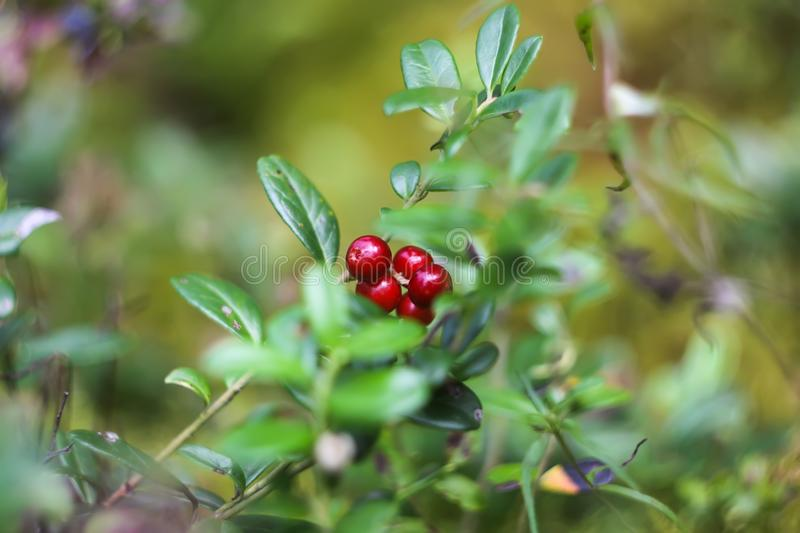 Wild cranberry in summer forest. royalty free stock images