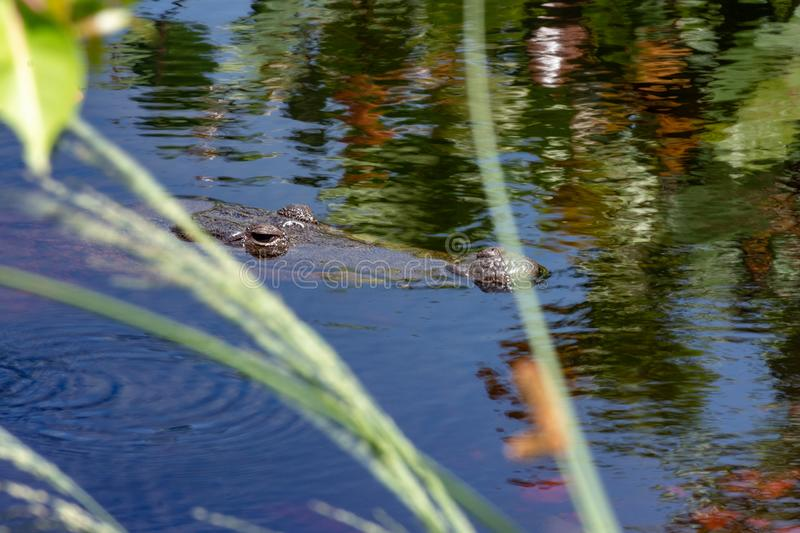 Wild crocodile in its habitat royalty free stock images