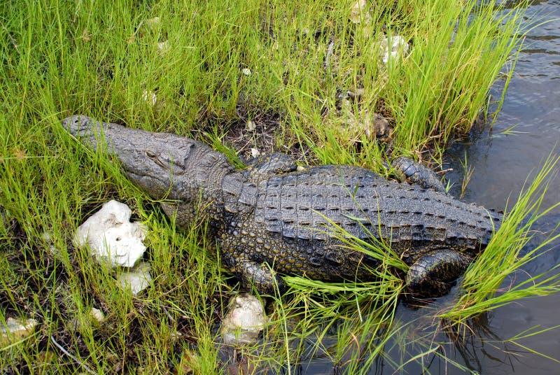 Wild Crocodile In Zambezi River Stock Photo - Image of ...
