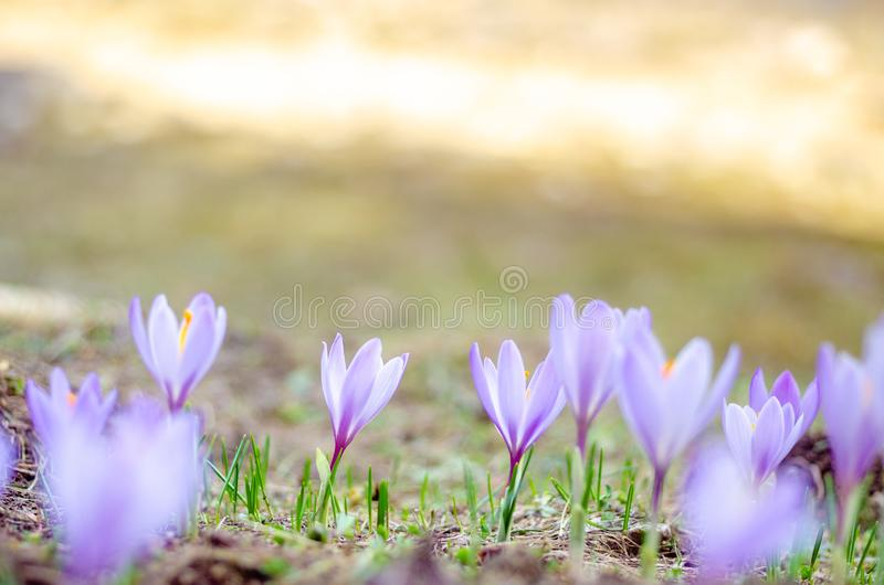 Wild Crocuses in Bloom, in a meadow royalty free stock photos