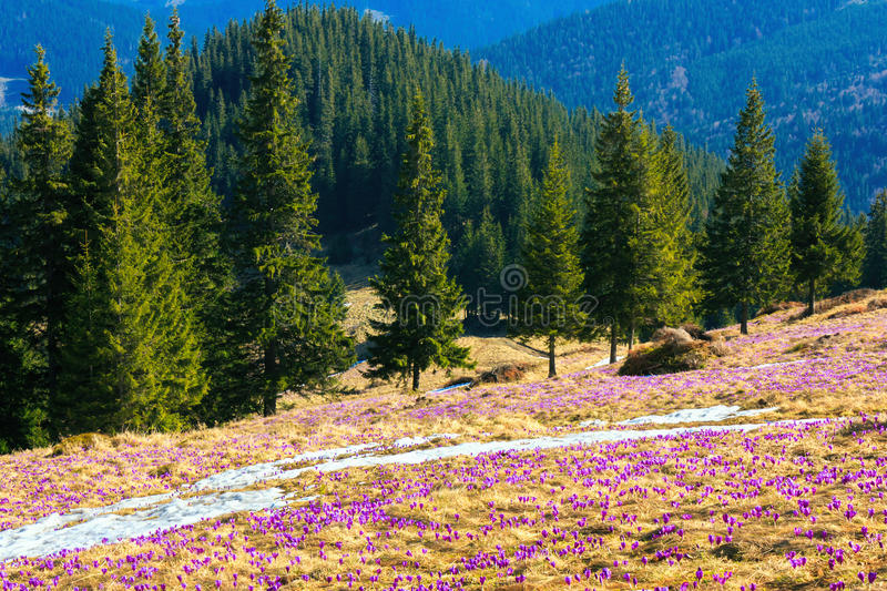 Wild crocuses and spring forest royalty free stock image