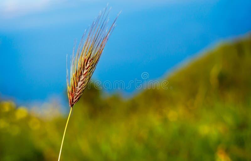 Wild crops stock image