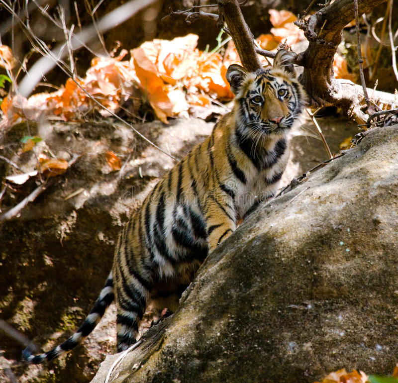 Wild cub Bengal tiger looks out from rocks in the jungle. India. Bandhavgarh National Park. Madhya Pradesh. Wild cub Bengal tiger looks out from rocks in the stock photography