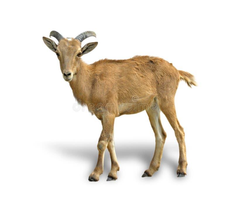 Short-horned baby goat on a white background stock photo