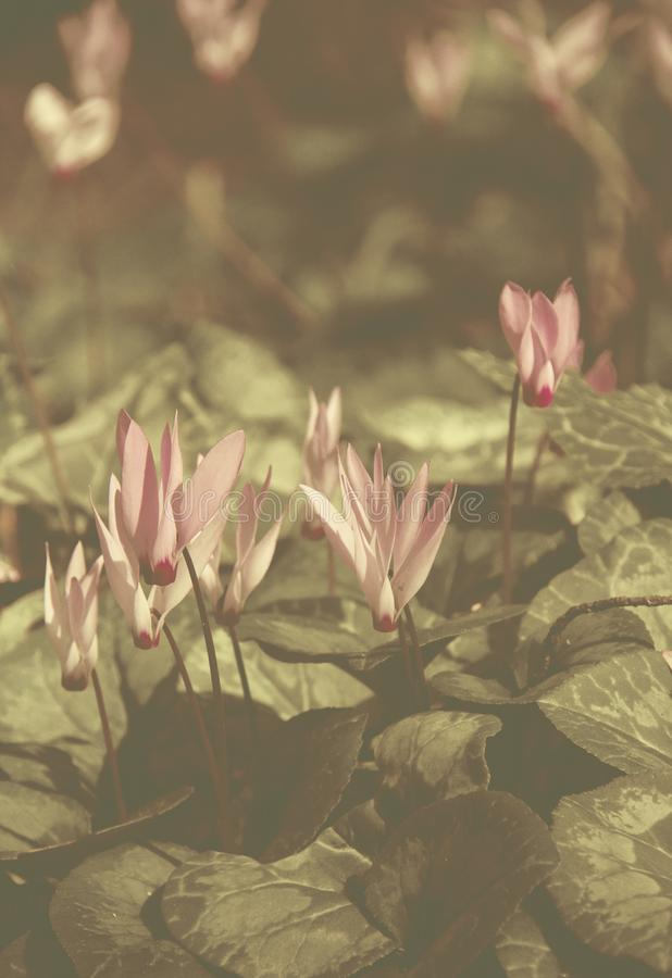 Instagran Style Filtered image - Wild cyclamens close up. royalty free stock image