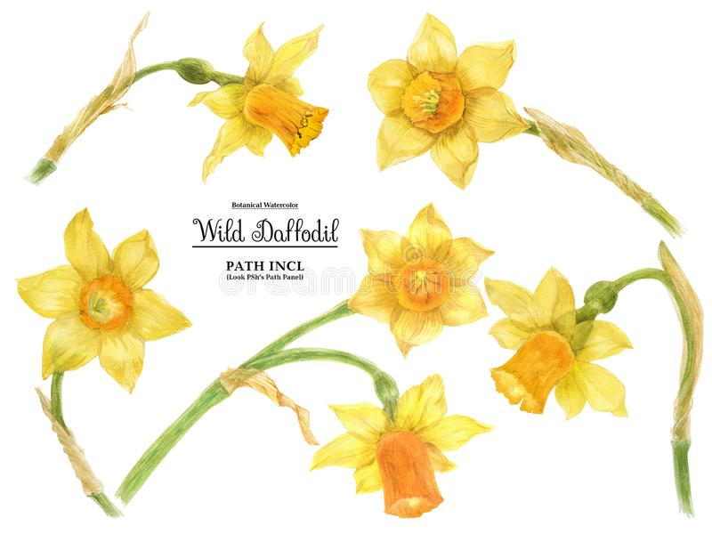 Wild Daffodil Easter Flower. Lent lily royalty free stock photo