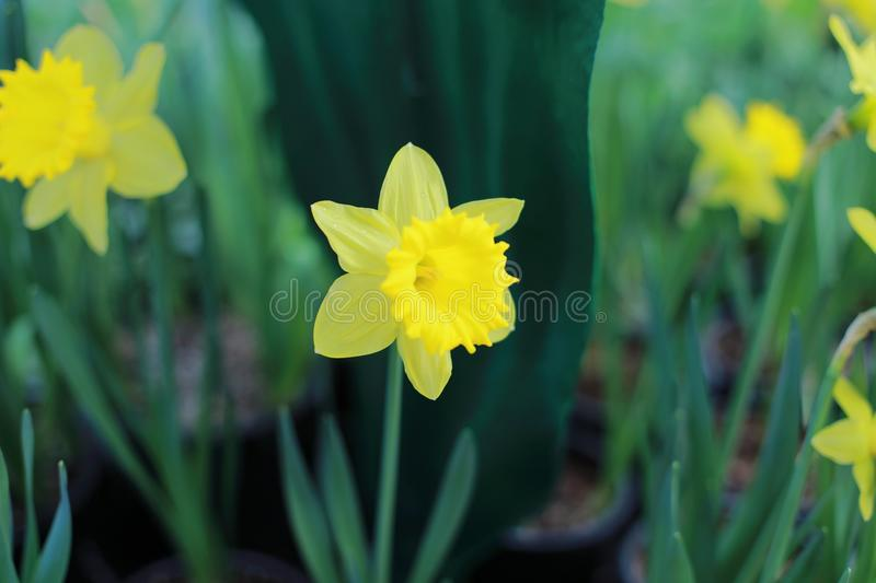 Wild daffodil or Lent lily stock images