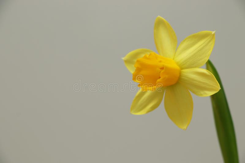 Wild daffodil / Lent lily Narcissus pseudonarcissus stock images