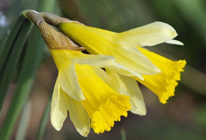 Download Wild Daffodil stock image. Image of woods, wild, bulb - 30374725