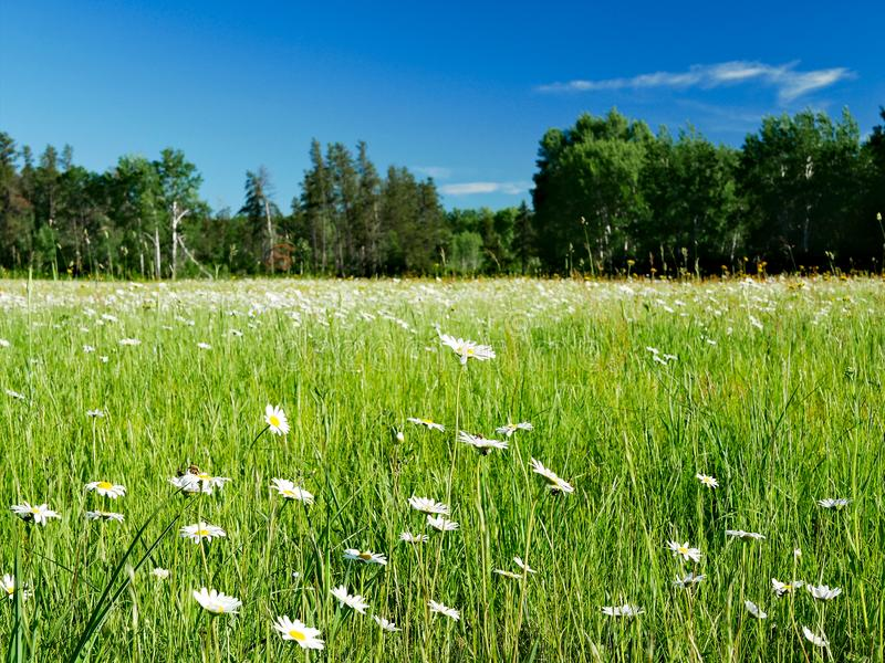 Beautiful daisy flower blossoms, Leucanthemum vulgare, in a tranquil forest meadow full of wild daisies. stock image