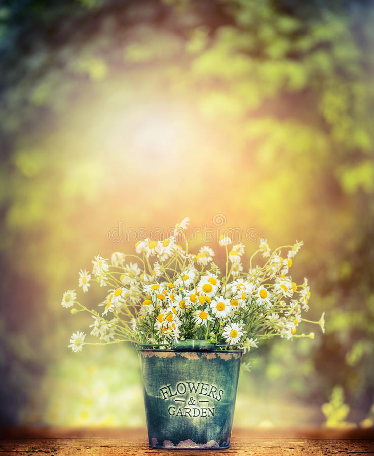 Wild daisies in retro bucket on wooden table over beautiful nature background. Outdoor stock photos