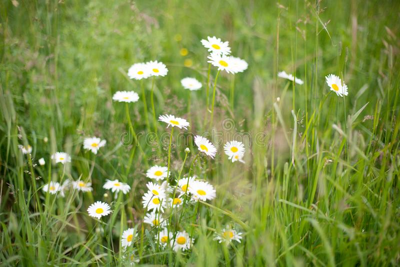 Wild daisy flowers growing in the green field, image of lovely chamomile royalty free stock photos